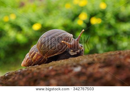 Giant African Land Snail - Achatina Fulica Large Land Snail In Achatinidae, Similar To Achatina Acha