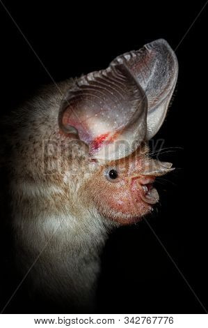 Trident Bat Or Trident Leaf-nosed Bat - Asellia Tridens Species Of Bat In Hipposideridae In The Dark