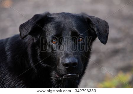 Close Up Head Shot Of A Cute, Tame Black Labrador Dog With Beautiful Brow Eyes Looking Mildly At Cam