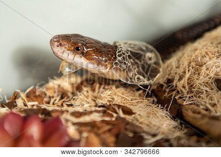 Closeup Shot With Selective Focus Of Pet Serpents Head As It Sheds Its Skin. Sly Serpent Shedding Ov