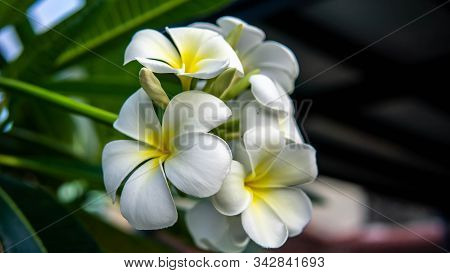 A Group Of Yellow White Flowers (frangipani, Plumeria) On A Tree During A Sunny Day With Natural Bac