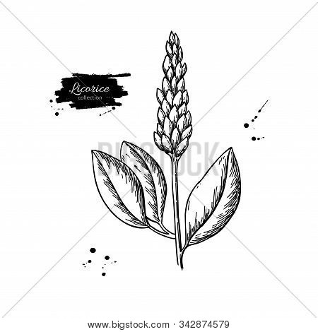 Licorice Plant Vector Drawing. Botanical Branch With Flower And Leaves.
