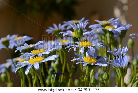 Agathaea O Felicia Amelloides Blue With Yellow Pistil. Colorful Background.