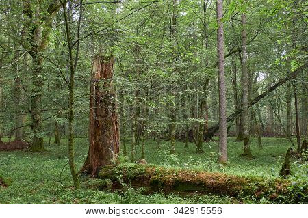 Summertime Deciduous Primeval Forest With Old Trees