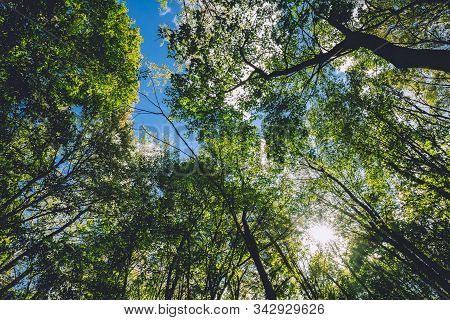 Sun Shining Through Canopy Of Tall Trees. Sunlight In Deciduous Forest, Summer Nature. Upper Branche