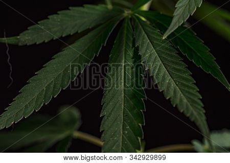 Thematic Photos Of Hemp And Marijuana Green Leaf Of Cannabis. Background Image. Bright Green Leaves