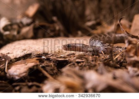 The Corn Snake (pantherophis Guttatus Or Elaphe Guttata) Is Laying On The Stone, Dry Grass And Dry L