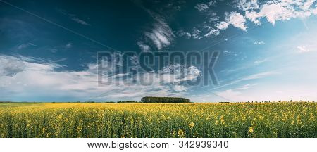 Blossom Of Canola Yellow Flowers Under Sunny Sky. Rape Plant, Rapeseed, Oilseed Field Meadow Grass L