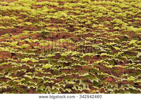 Vegetative Cover Can Insulate And Cool The Building. Ivy Plant On Wall. Green Ivy Wall. Growing Ivy
