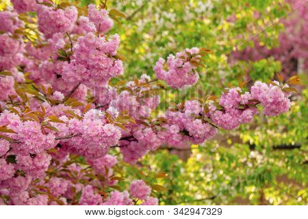 Cherry Blossom In The Garden. Splendid Springtime Nature Scenery. Close Up Of Blooming Twigs Of Saku
