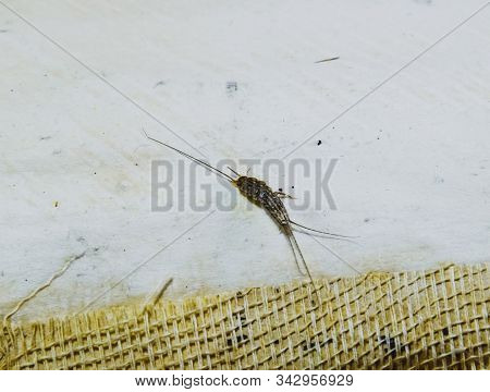 Pest Books And Newspapers. Insect Feeding On Paper - Silverfish. Pest Books And Newspapers.