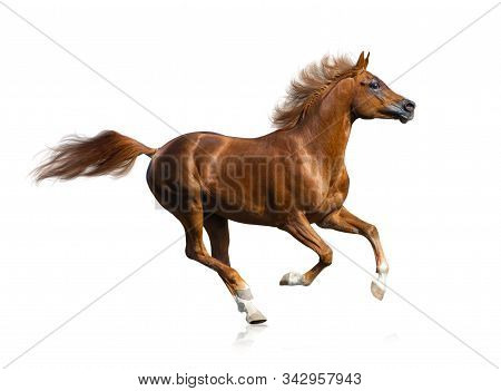 Beautiful Running Fiery Red Arabian Stallion Isolated. Purebred Arabian Horse Galloping On A White B