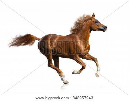 Beautiful Running Fiery Red Arabian Stallion Isolated. Purebred Arabian Horse Galloping On A White B