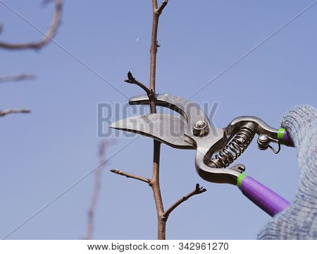 Pruning Pear Branches Pruners. Trimming The Tree With A Cutter. Spring Pruning Of Fruit Trees.