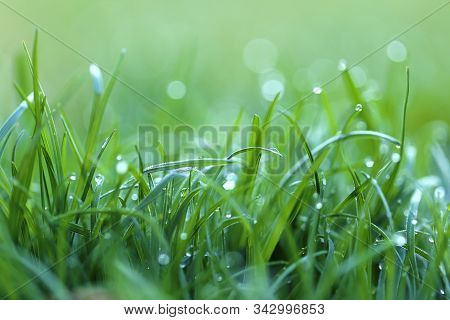 Grass In The Dew. Stalks Of Grass With Large Drops Of Water On A Blurred Green Background. Lawn Clos