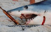 Large shark laying on the beach after being caught poster