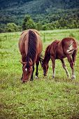 Bay mare with foal in the meadow poster