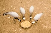 Four egrets pick a corns from basin poster