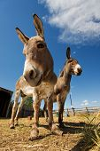 Two donkeys in a coral one with neglected hooves poster