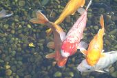 photo of koi fish swimming in a pool poster