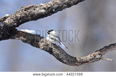 Black-capped chickadee on tree branch
