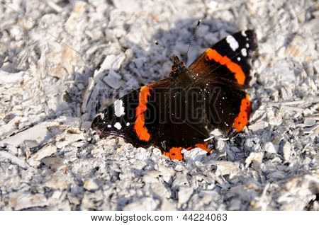 The beautiful red admiral butterfly