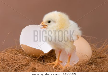 The chick pose near the egg shell which it hatched previous day. poster