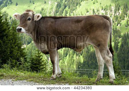Calf of Tiroler Grauvieh