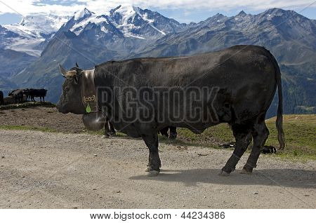 Herens fighter cow