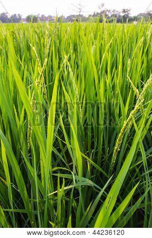 Green Fresh Rice Fields