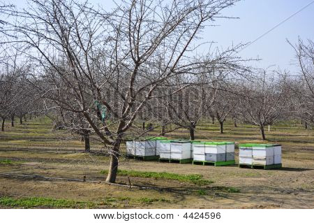 Bee hives provide the means for pollination of almond orchard California poster
