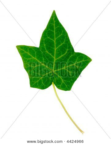 English Ivy single leaf isolated on white poster