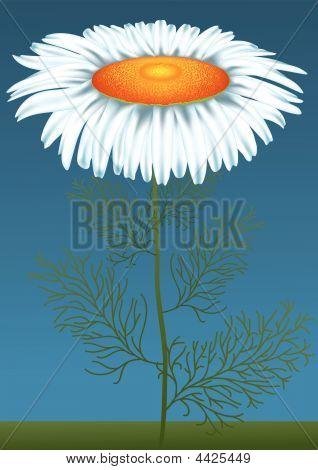 Flower_ox-eye_daisy