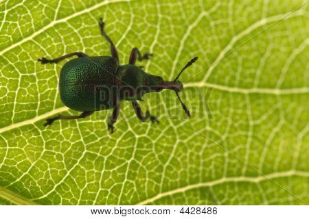 Poplar Leaf Roller Bug