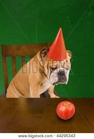 a bulldog with a dunce hat on