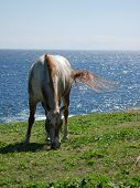 A horse peacefully eats grass by the ocean cliffs as her tail flies in the wind taken on the Big Island of Hawaii in 2008. poster