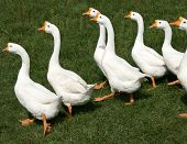 A flock of geese traveling in formation accross the grass on a bright summer day. poster