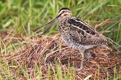 African snipe in wetland looking for food green grass water poster