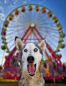 wolf mix making a funny face in front of a ferris wheel poster