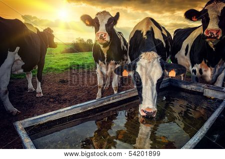 Herd Of Young Calves Drinking Water