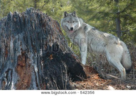 Wolf And Stump