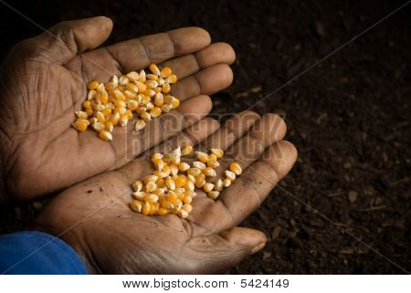 African American Hands Holding Seeds