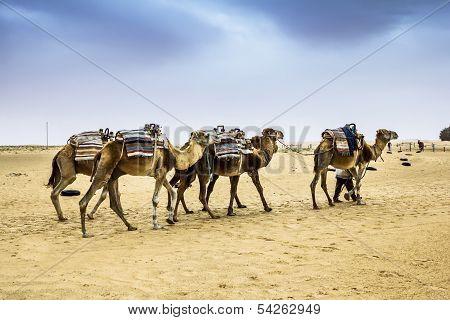 Camel Caravan in the Sahara desert Tunisia Africa poster