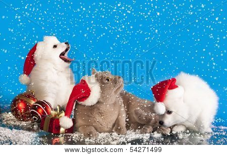 christmas puppies white Spitz wearing a santa hat and cat