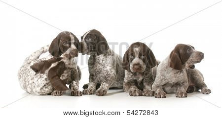 poster of litter of puppies - five german shorthaired pointer puppies playing - 7 weeks old