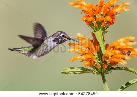 Male Anna's Hummingbird on orange flowers background