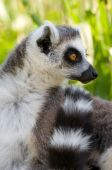 Portrait of a ring tail lemur in wild poster