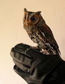 flammulated owl poster