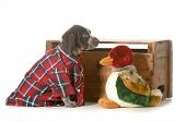 hunting dog - german shorthaired pointer wearing plaid shirt sitting beside stuffed duck isolated on white background - 7 weeks old poster
