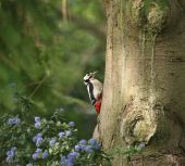 Great Spotted Woodpecker on tree trunk in dappled sunlight with blue flowers nearby poster